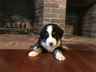 Bernese Mountain Dog Puppy For Sale in SHAPLEIGH, ME, USA