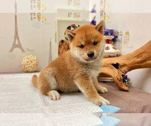 Shiba Inu Dog for Adoption in PASADENA, California USA