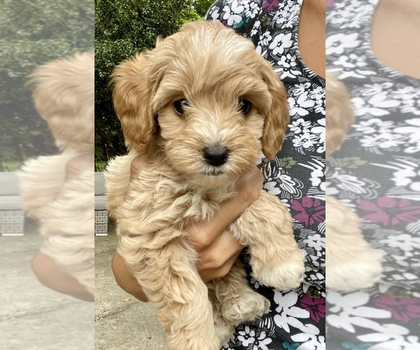 Medium Photo #1 Labradoodle-Poodle (Miniature) Mix Puppy For Sale in GREENSBORO-HIGH POINT-WINSTO, NC, USA