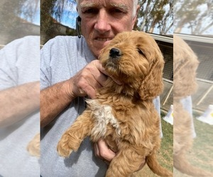 Goldendoodle-Poodle (Standard) Mix Puppy for sale in SCOTTSDALE, AZ, USA