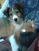 Small #3 Shetland Sheepdog