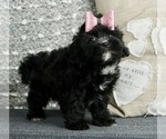 Puppy 3 Poodle (Toy)-Shih Tzu Mix