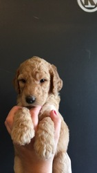 Labradoodle Puppy for sale in PLEASANT VIEW, TN, USA