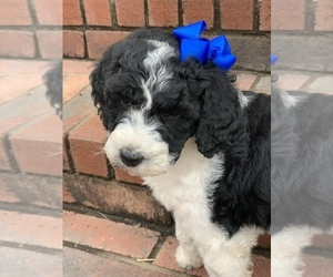 Poodle (Standard) Puppy for sale in MAGNET COVE, AR, USA