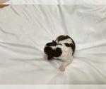 Puppy 1 Lagotto Romagnolo