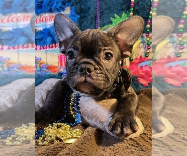 Medium Photo #4 French Bulldog Puppy For Sale in HEATHROW, FL, USA