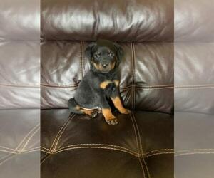 Rottweiler Puppy for Sale in FINLAYSON, Minnesota USA