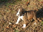 Boxer Puppy For Sale in BEECH ISLAND, SC,