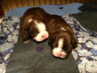 Boston Terrier Puppy For Sale in LUCK, WI, USA