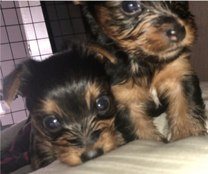 Yorkshire Terrier Puppy for Sale in KISSIMMEE, Florida USA