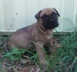 AKC Bullmastiff pupies