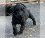 Puppy 5 Labradoodle