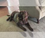 Small Photo #11 Labrador Retriever Puppy For Sale in FRUITPORT, MI, USA