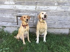 Labrador Retriever Puppy For Sale in WHITEWATER, WI