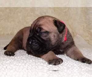 Bullmastiff Dog for Adoption in VERONA, Missouri USA