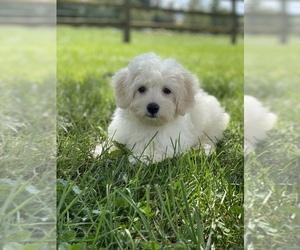 Coton de Tulear Puppy for sale in SENECA FALLS, NY, USA