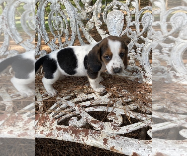 Medium Photo #1 Basset Hound Puppy For Sale in NESHOBA, MS, USA
