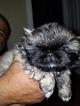 Pekingese Puppy For Sale in OKLAHOMA CITY, OK, USA