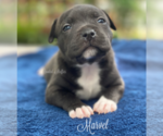 Puppy 1 Staffordshire Bull Terrier