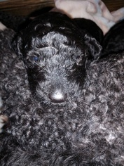 Poodle (Standard) Puppy for Sale in VILLE PLATTE, Louisiana USA