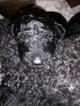 Poodle (Standard) Puppy For Sale in VILLE PLATTE, LA, USA