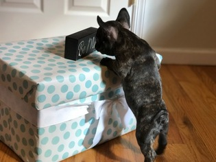 French Bulldog Puppy For Sale in HELMETTA, NJ