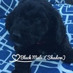 Labradoodle-Poodle (Standard) Mix Puppy For Sale in NORTH MANCHESTER, IN, USA