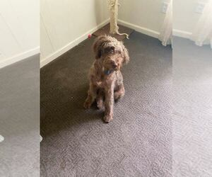 Labradoodle Puppy for Sale in LADSON, South Carolina USA