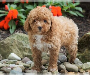 Poodle (Miniature) Puppy for Sale in FREDERICKSBG, Ohio USA