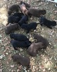 Labrador Retriever Puppy For Sale in MULVANE, KS, USA