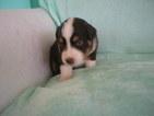 Mini Aussie Pups