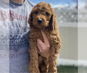 Goldendoodle-Unknown Mix Puppy for sale in SCOTTSDALE, AZ, USA