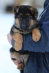 German Shepherd Dog Puppy For Sale in SEATTLE, WA