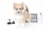 Pomsky Shepherd Maltese  mix Mix Puppy For Sale in NAPLES, FL, USA