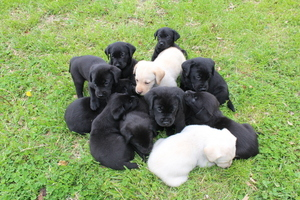 Labrador Retriever Puppy For Sale in BRAZIL, IN, USA