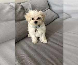 Maltese Puppy for sale in SAN DIEGO, CA, USA