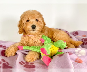 Golden Retriever-Poodle (Toy) Mix Puppy for sale in BREA, CA, USA