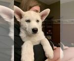 Puppy 3 Pomsky-Siberian Husky Mix