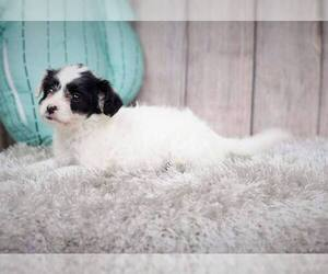 Malchi-Unknown Mix Puppy for sale in FULLERTON, CA, USA