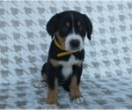 Puppy 8 Greater Swiss Mountain Dog