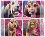 Puppy 7 Bloodhound