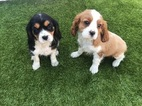 Cavalier King Charles Spaniel Puppy For Sale in AUSTIN, TX, USA