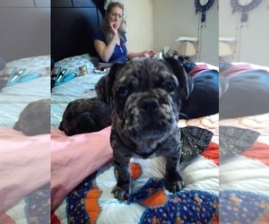 French Bulldog-Frenchie Pug Mix Puppy for Sale in DAYTON, Ohio USA