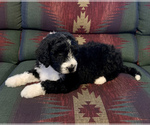Small #5 Bernedoodle