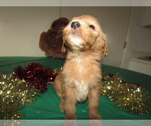 Goldendoodle Puppy for sale in BLMGTN, IN, USA