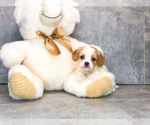 Cava-Tzu Puppy for Sale in CLEVELAND, North Carolina USA