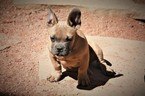 American Pit Bull Terrier Puppy For Sale in COLORADO SPRINGS, CO