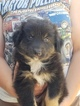Australian Shepherd Puppy For Sale in CAMDEN, Ohio,
