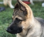 Small #11 German Shepherd Dog