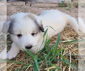 Great Pyrenees Dog for Adoption in PLACITAS, New Mexico USA